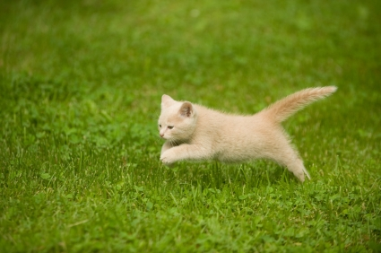 the cat is running