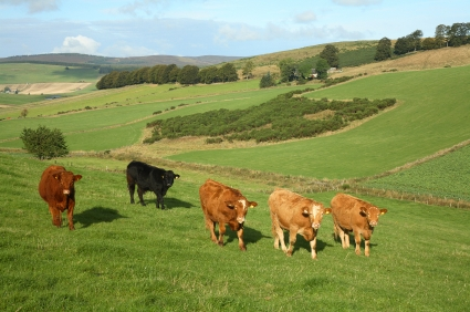 Four brown cows and one black cow