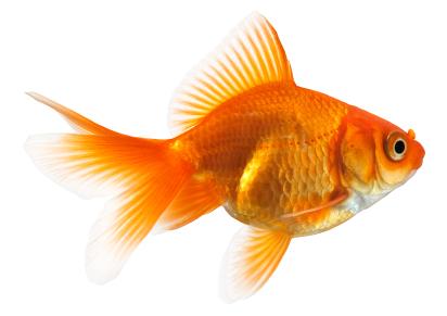 is it a cat no it isnt its a goldfish
