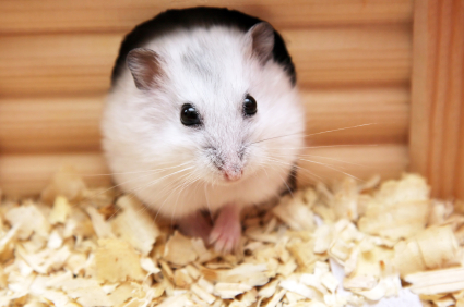 this is a hamster its whiskers are long